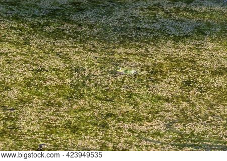 A Green Toad Frog Lies On The Surface Of A Pond. Around The Frog Are Green Flakes Of Grass.