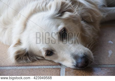 Close Up Of A Tired Dog Resting On The Floor. Beautiful White Hair, Brown Eyes. Spain