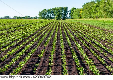 Straight Rows Of Sugar Beets In Perspective On An Agricultural Field. Sugar Beet Cultivation.