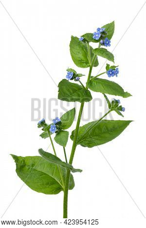 Whole fresh twig of  Anchusa plant with blue flowers on white background