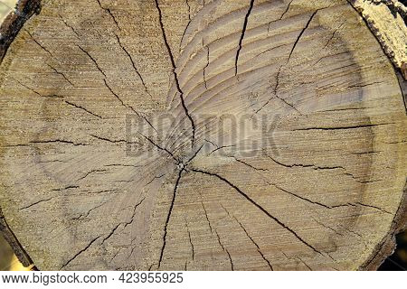 Sawn Mature Tree Section With Cracks And Rings That Tell It's Age. Saw Marks. Radial Cracks. Wooden