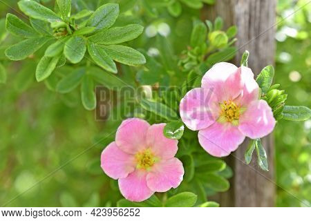 Pink Flower Lapchatka Is One Of The Varieties Of Herbaceous Plants Of The Family Rosaceae.