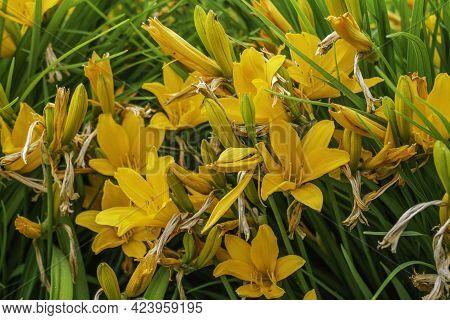 Hemerocallis Fulva Flower, Belongs To The Xanthorrhoeaceae Family