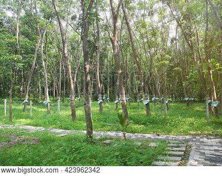 Rubber Is Extracted From Trees In The Park. Kochi, Kerala, India