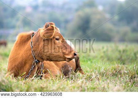 Brown Milk Cow Grazing On Green Grass At Farm Grassland.