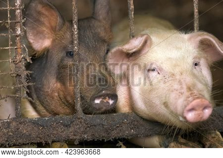 Close Up Of Two Dirty Fat Pigs Resting At Farm Stable.