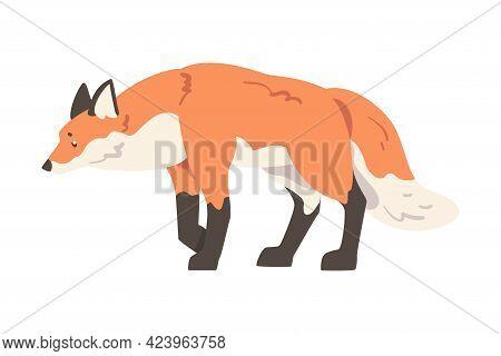 Red Stalking Fox, Wild Predator Forest Mammal Animal Cartoon Vector Illustration
