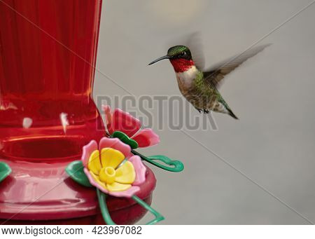 Male Ruby Throated Hummingbird Hovers Upright Near A Nectar Feeder.