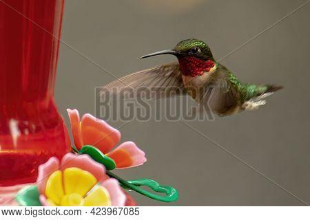 Male Ruby Throated Hummingbird Approaches A Nectar Feeder.