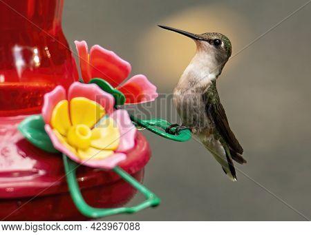 Female Ruby Throated Hummingbird Perches On A Nectar Feeder.