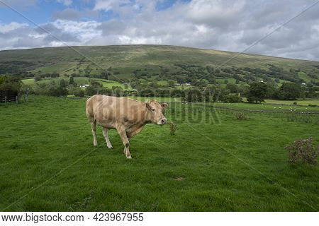 A Brown Cow In The Yorshire Dales, Uk