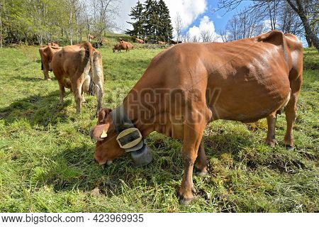 Brown Tarine Cow With A Necklace With A Bell Grazing  In Pasture In Alpine Mountain