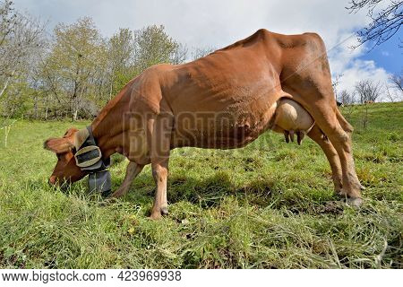 Brown Dairy Cow With A Necklace And  A Bell Grazing  In Pasture In Alpine Mountain