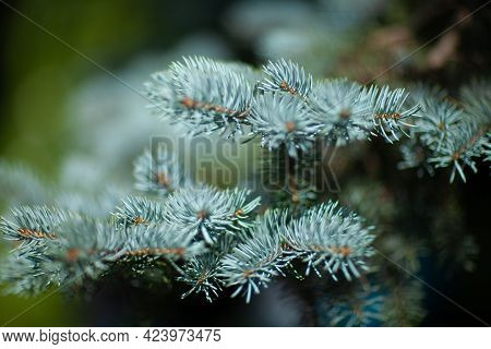Blue Spruce Tree Close-up. Shallow Focus, Background And Foreground Blur. Fir Tree Brunch Close Up.