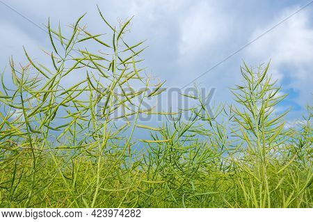 Closeup Of Green Unripe Rape Oilseed On A Cloudy Blue Sky Background In Summer. Unripe Young And Gre