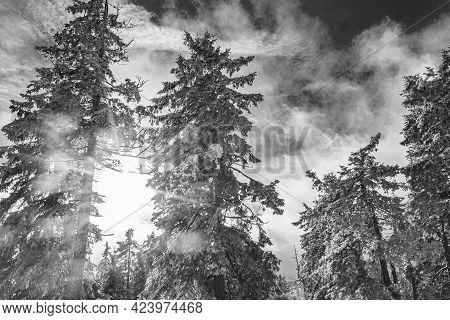 Snowed In Icy Fir Trees Landscape Brocken Mountain Harz Germany