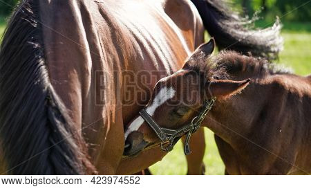 A Cute Little Brown Thoroughbred Foal In Bridle Snuggles Up To Horses Mother In Rays Of The Evening