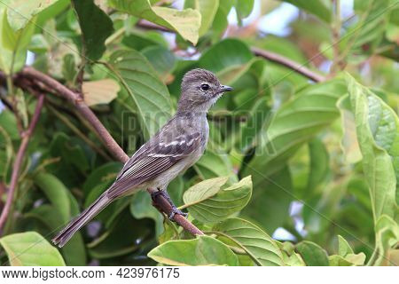 Highland Elaenia (elaenia Obscura) Perched On A Branch In The Foliage.