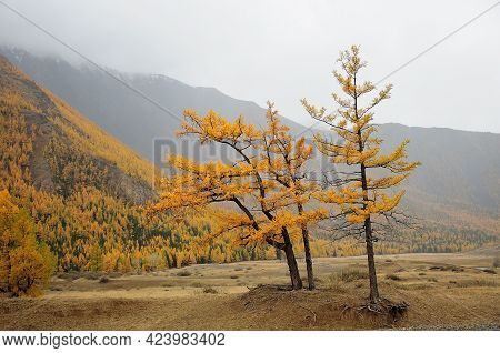 Two Yellowed Larches Stand On A Low Hill In The Autumn Steppe At The Foot Of A High Mountain. Altai,