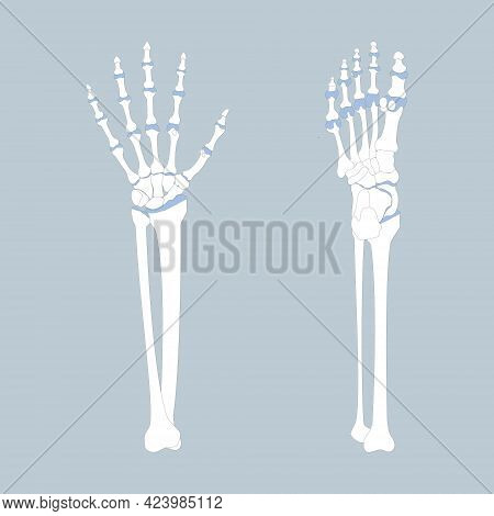 Bone Of The Hand And Foot With Arm And Leg, Anatomy, Internal Organs Body Part Orthopedic Health Car
