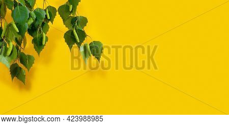 Flowering Birch Tree Branches On On Yellow Background, With Space For Text. Branch Of Birch Tree Wit