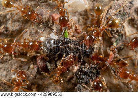 Macro Photography Of Group Of Pheidole Pallidula Ants Attack Prey