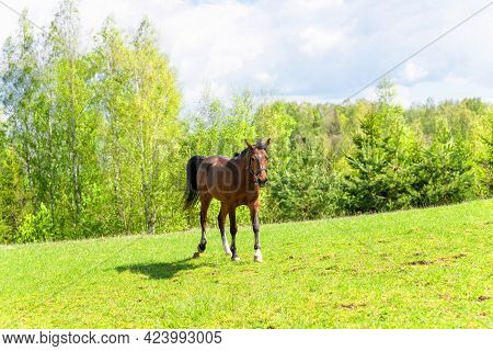 Beautiful Young Horse Walking On The Field Or Pasture.brown Horse Animal Field Spring Summer Landsca