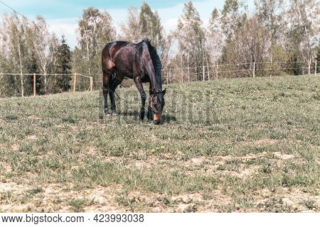 Black Horse On Green Pasture With Green Grass Against Blue Sky With Clouds.nice Summer Sunny Day.sid