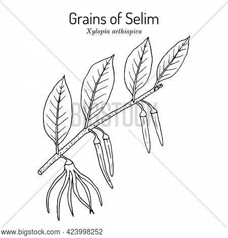 Senegal Pepper, Or Grains Of Selim Xylopia Aethiopica , And Medicinal Plant. Hand Drawn Botanical Ve