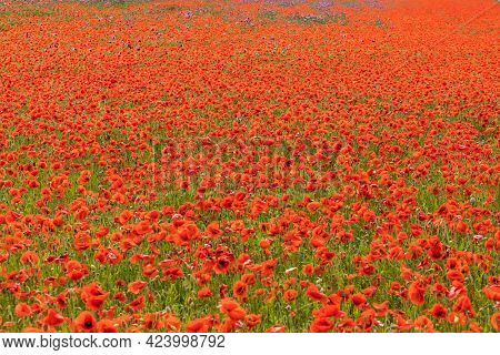 Field Of Red Poppies Close Up. Field Of Corn Poppy Flowers Papaver Rhoeas In Spring. Veterans Day.