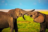 Elephants playing with their trunks on African savanna. Safari in Amboseli, Kenya, Africa poster