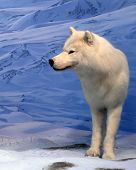 A white or arctic wolf in snow scene. Clipping path included. poster
