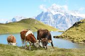 Cows in an Alpine meadow. Jungfrau region, Switzerland poster