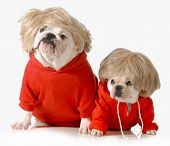 cute dogs wearing exercise clothing isolated on white background - english and french bulldogs poster