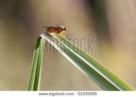 kelp flies - Heleomyzidae