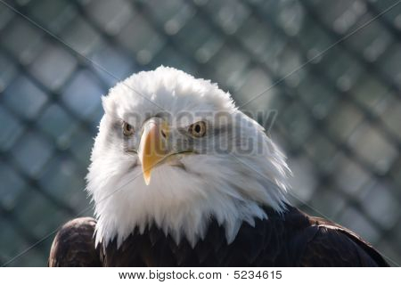 Majestic looking bald eagle. This one is over 15 years old. poster