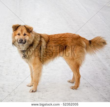 Red Dog.