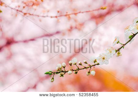 Branch With White Cherry Blossoms