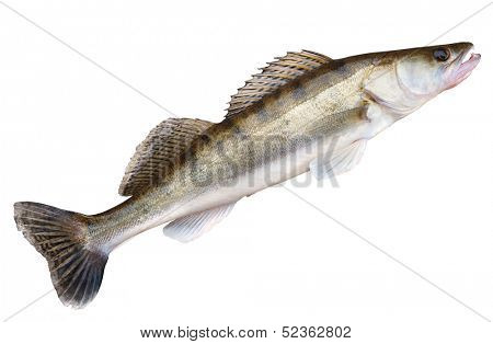 Walleye (pike-perch) lying on concrete floor isolated on white with clipping path