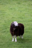 Brown and white woolly sheep on grass hill in the Lake District poster