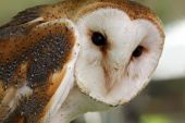 Common Barn Owl looking right at you. poster