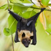 Fruit bat (Indian Flying-fox) scientific name Pteropus giganteus hanging in a tree poster