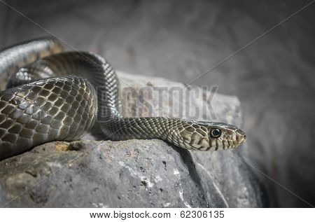 Snake on the stone processed in low key poster