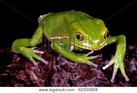 Waxy Monkey Tree Frog.