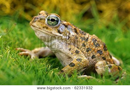 Toad.