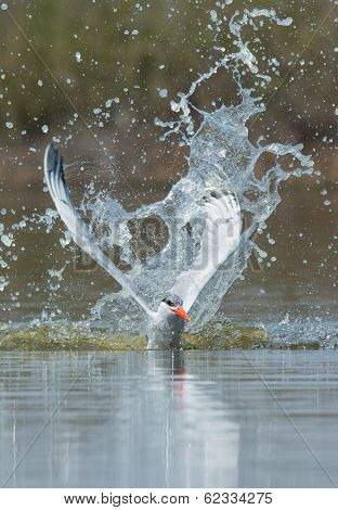 Caspian Tern Resurfacing After Impressive Impact