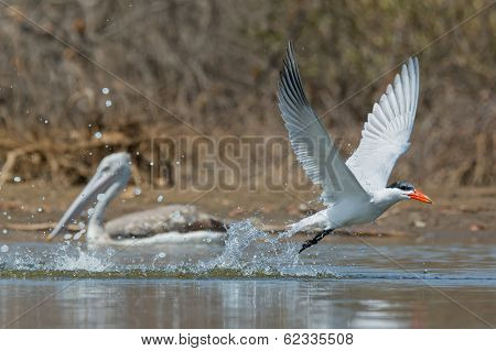 Caspian Tern Taking To The Air After A Dive With Pelican Watching