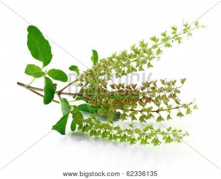 Fresh Basil flower isolated on white background poster