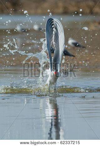 Caspian Tern With Wings Straight Up Splash Taking To The Air After A Dive