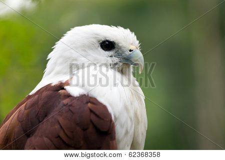 Sea eagle BrahminyKite  (Haliastur indus) portrait.